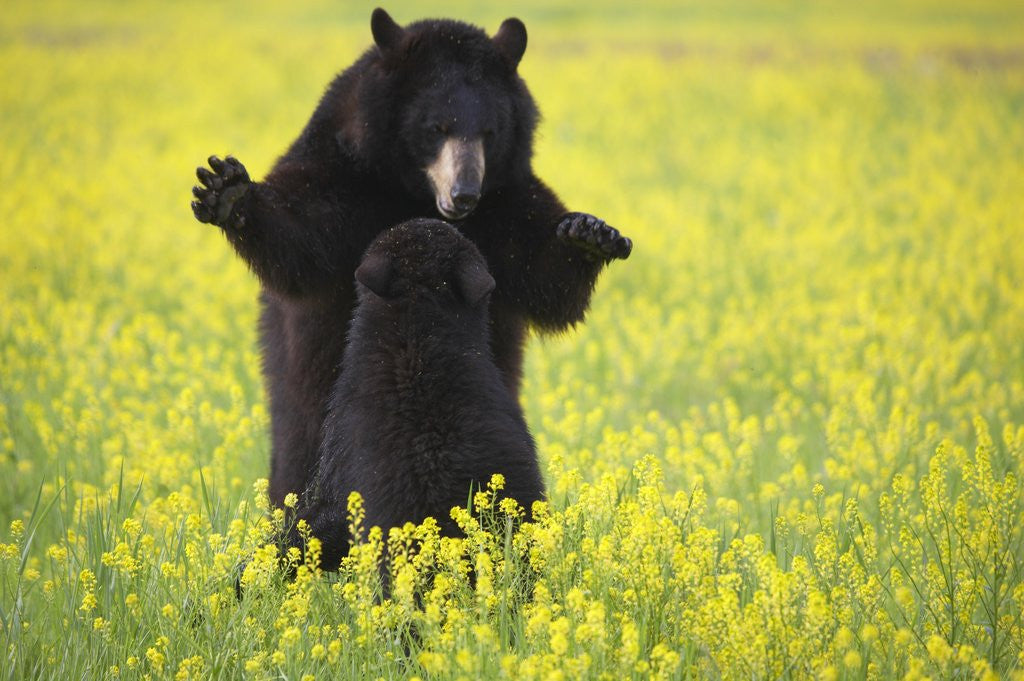 Detail of Black bears playing by Corbis