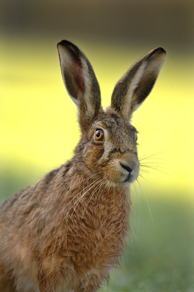 Detail of Alert Adult Brown Hare by Corbis