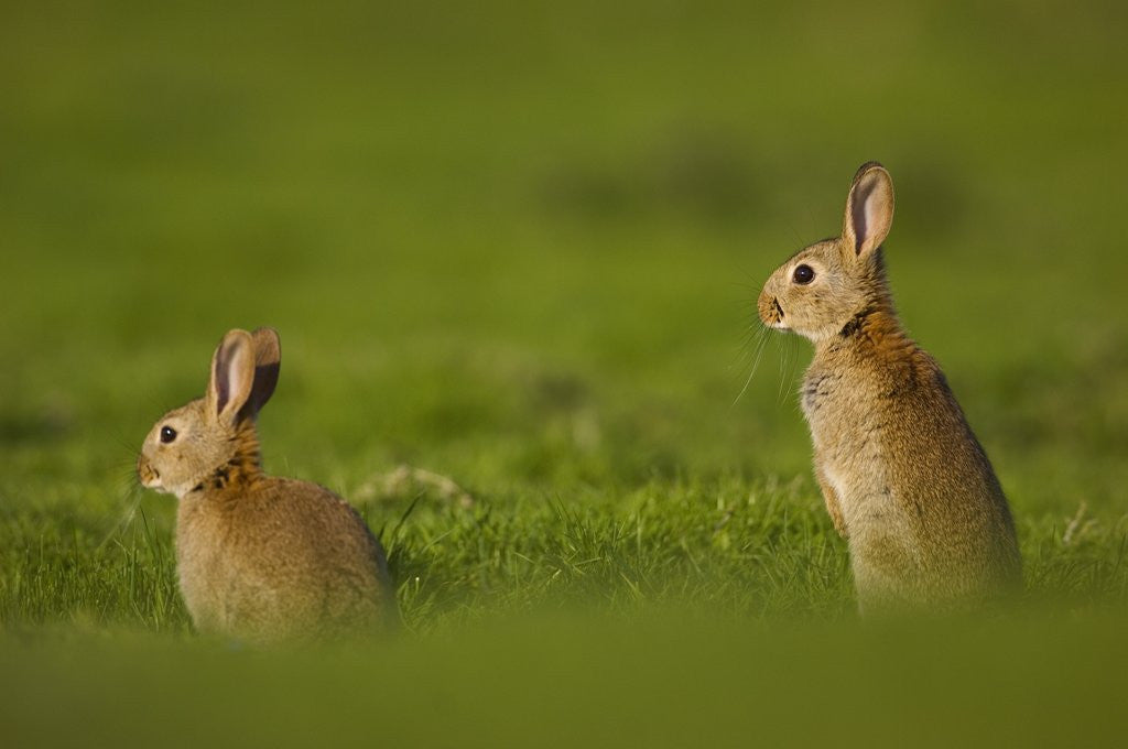 Detail of Alert Adult Rabbits by Corbis