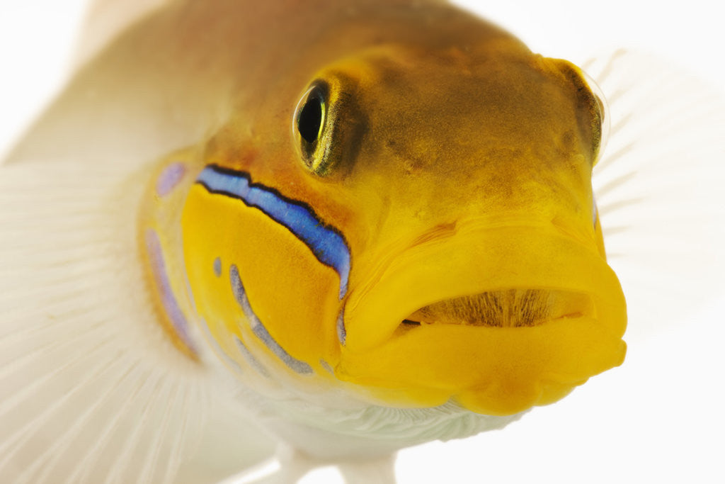 Detail of Blue-streak goby by Corbis