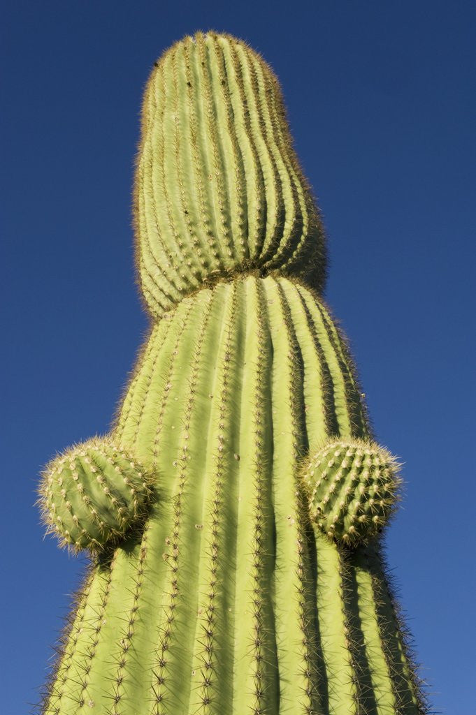 Detail of Saguaro Cactus in Tinajas Altas Mountains by Corbis