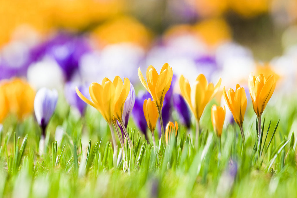 Detail of Orange and purple crocus flowers by Corbis