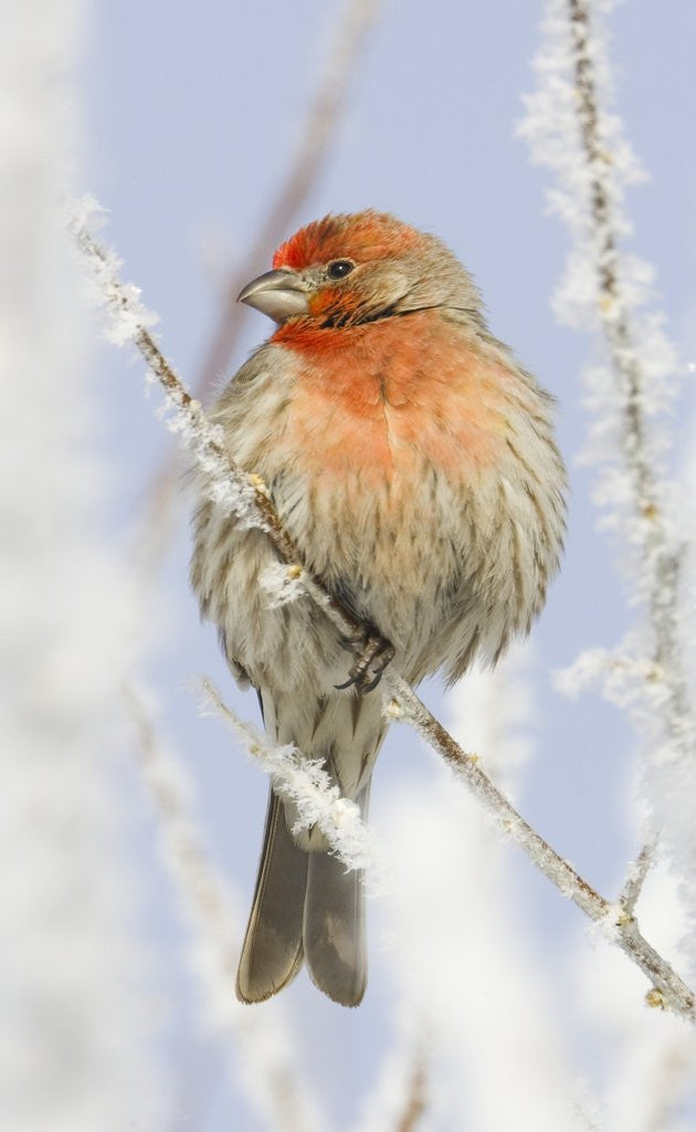 Detail of Male house finch on hoarfrost-covered tree in winter by Corbis