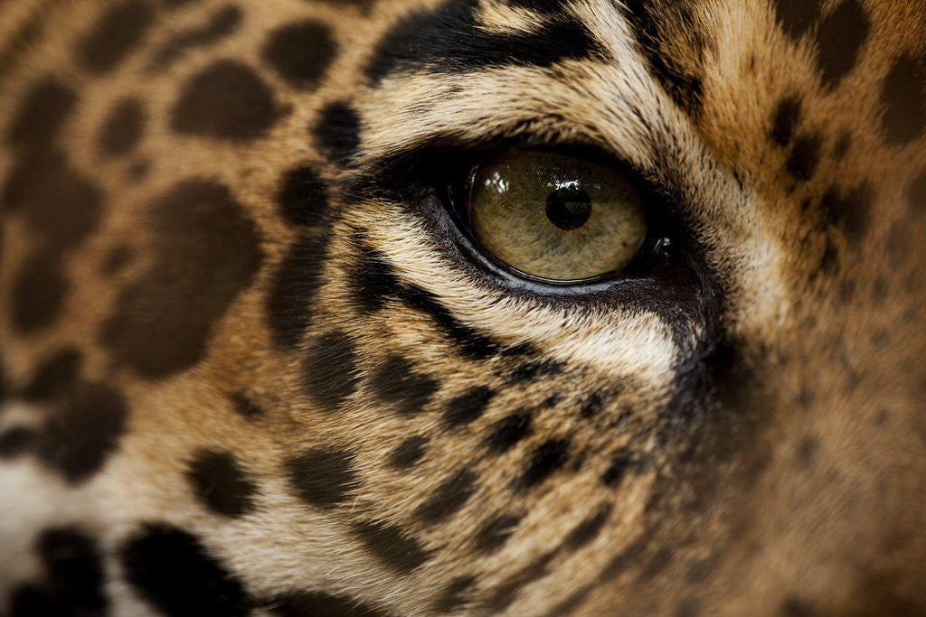 Detail of Captive Jaguar at Las Pumas Rescue Shelter by Corbis
