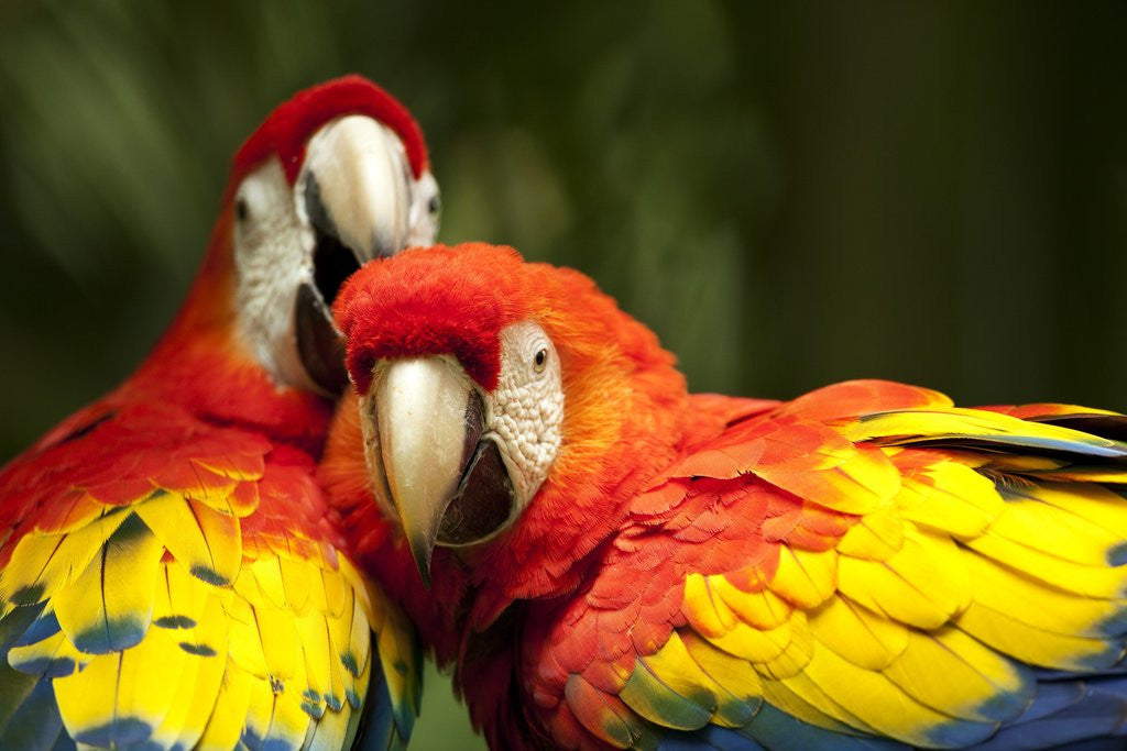 Detail of Scarlet Macaws at Zoo Ave Park, Outside San Jose by Corbis