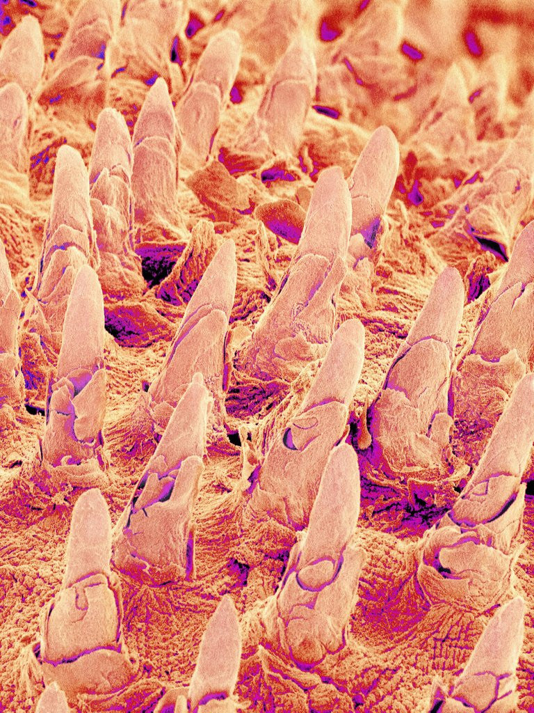 Detail of Tongue filiform papillae of a rabbit magnified x300 by Corbis