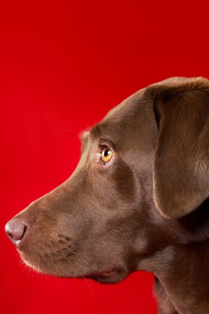 Detail of Chocolate lab by Corbis