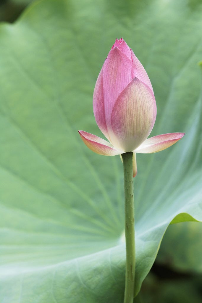 Detail of Lotus flower in Lou Lim Ieoc Garden in Macau by Corbis