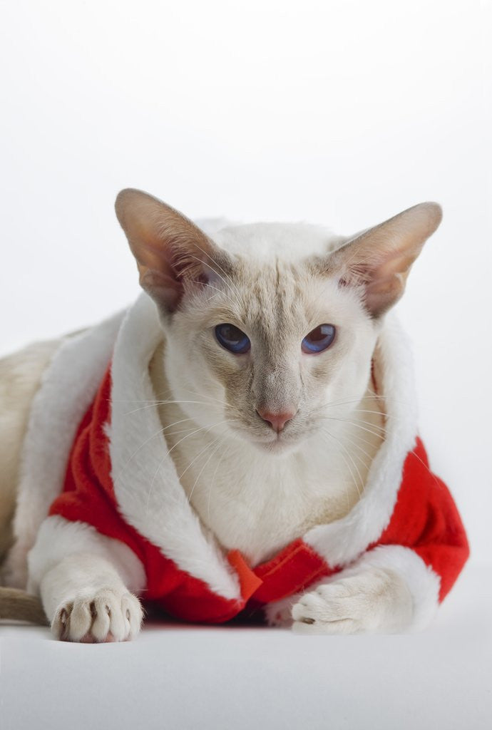 Detail of Siamese cat wearing Santa Claus costume by Corbis : siamese cat costume  - Germanpascual.Com