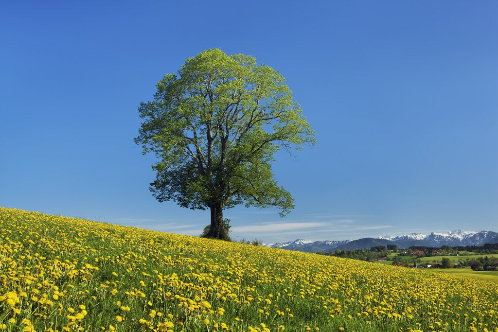 Detail of Lime tree in dandelion covered meadow by Corbis