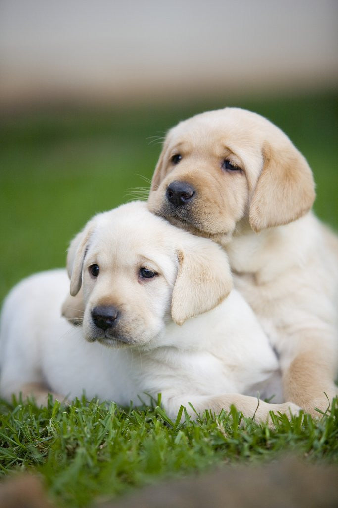 Detail of Yellow labrador retriever puppies by Corbis