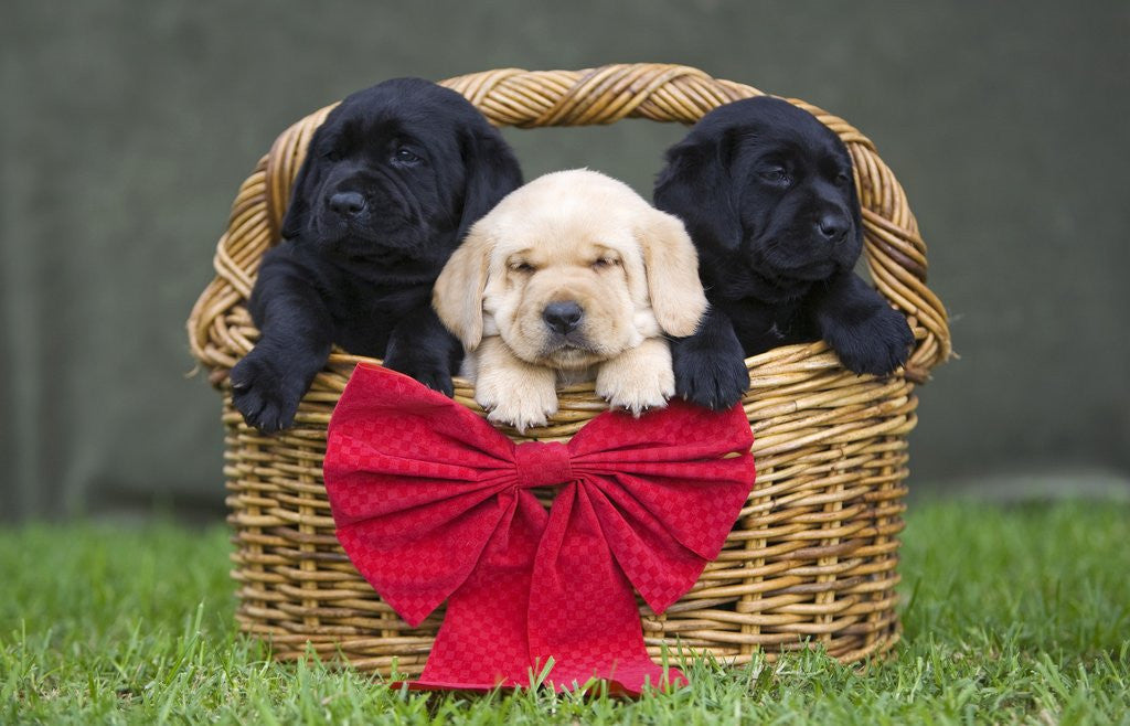 Detail of Black and yellow labrador retriever puppies in basket with red bow by Corbis