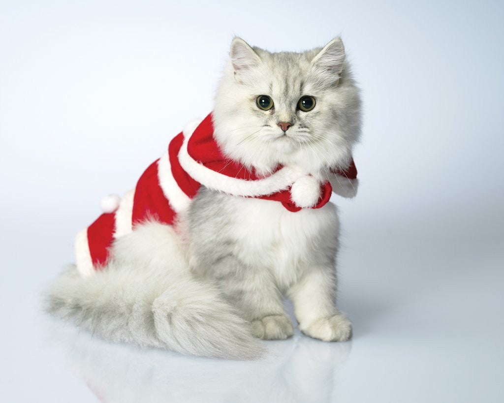 Studio shot of cat in christmas outfit posters & prints by Corbis