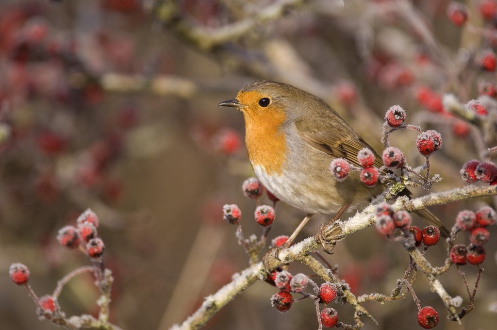 Detail of European robin perched among frost covered berries by Corbis