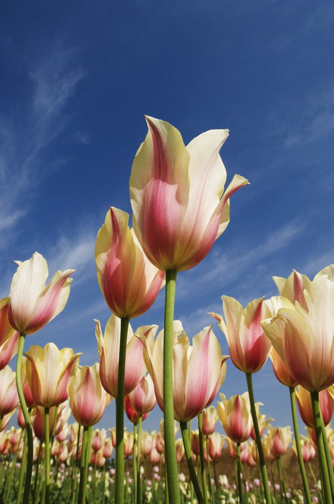 Detail of Pink tulips in a garden, Indira Gandhi Tulip Garden, Srinagar, Jammu And Kashmir, India by Corbis