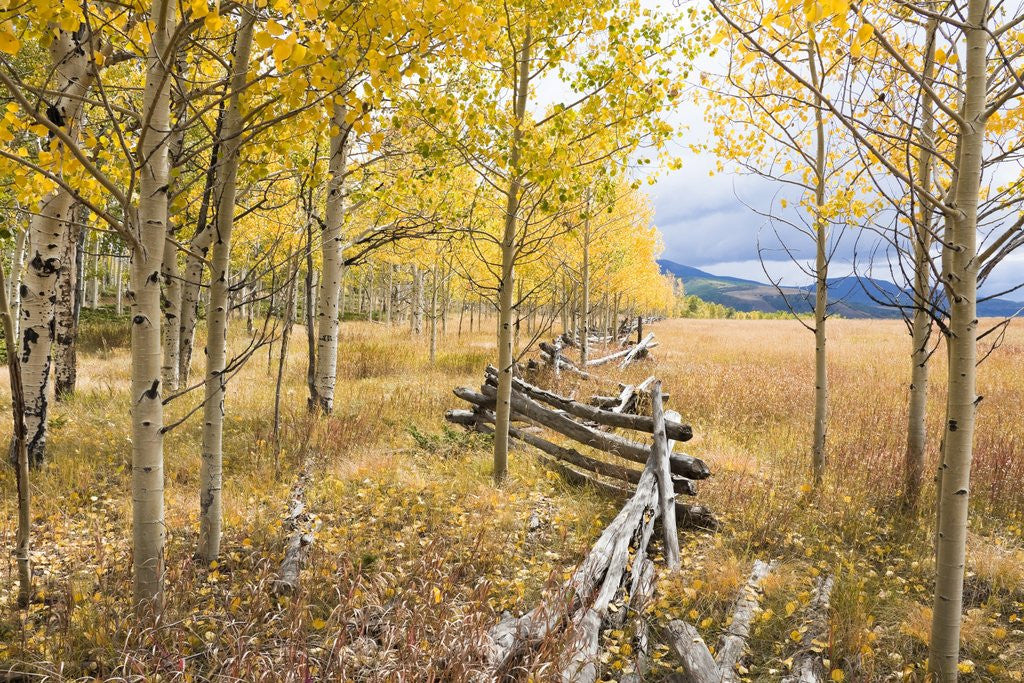 Detail of Wooden fence and Aspen forest in autumn by Corbis