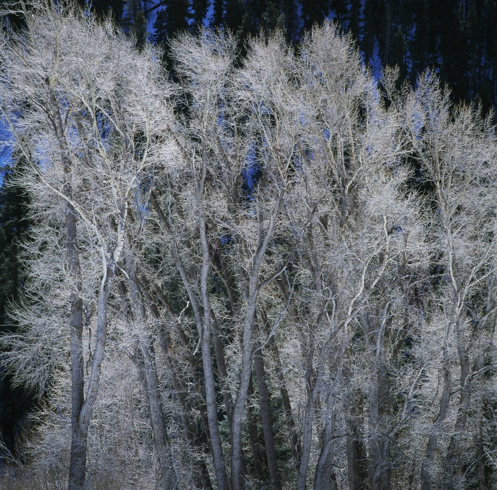 Cottonwood trees in winter by Corbis
