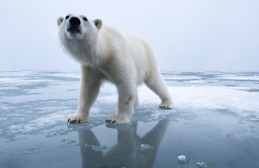 Detail of Polar Bear on ice by Corbis