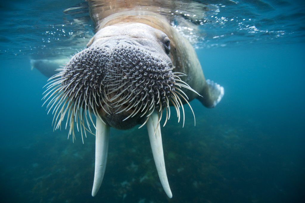 Detail of Adult male walrus, Lagoya, Svalbard, Norway by Corbis