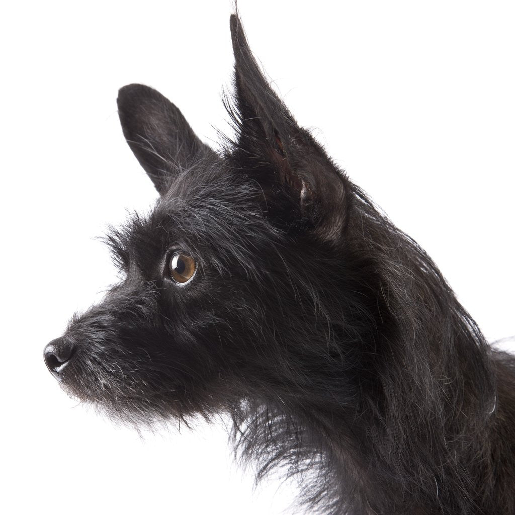 Detail of Black toy terrier by Corbis