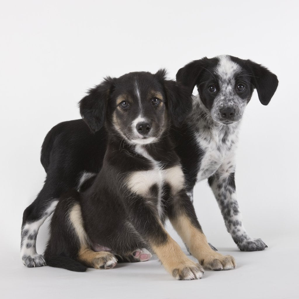 Detail of Brittany spaniel and Australian shepherd puppies by Corbis