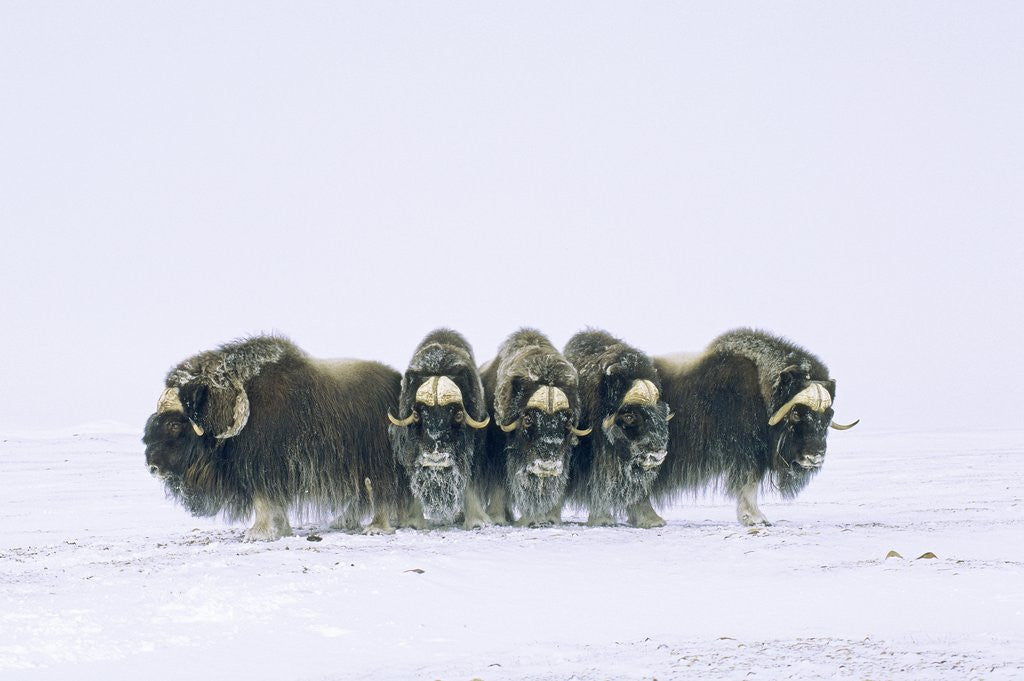 Detail of Adult Bull Muskoxen (Ovibos Moschatus) in Defensive Line. Banks Island, Northwest Territories, Arctic Canada. by Corbis