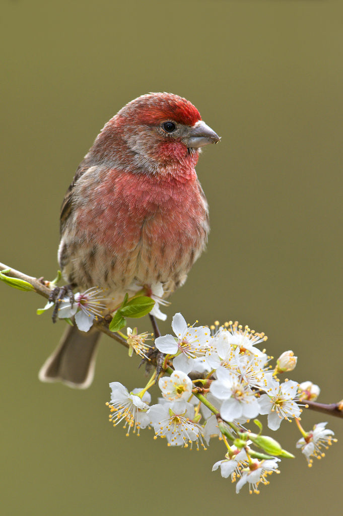 Detail of House Finch (Carpodacus Mexicanus) on Flowering Plum Tree Branch, Victoria, Vancouver Island, British Columbia, Canada by Corbis