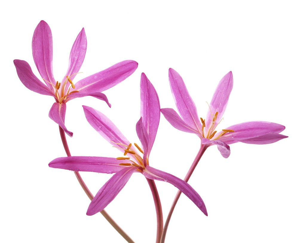 Three Pink Colchicum Flowers On White Background Posters Prints By