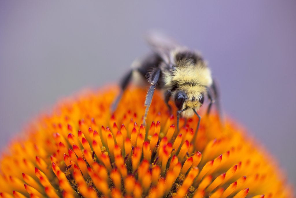 Detail of Bee on flower by Corbis