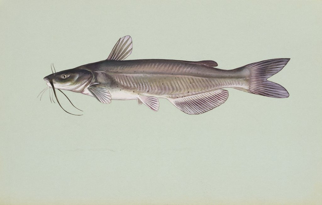 Detail of Channel catfish by Corbis