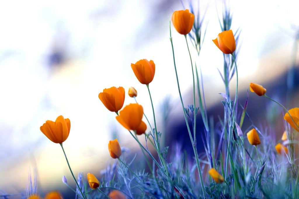 Detail of California poppies in Yosemite National Park by Corbis