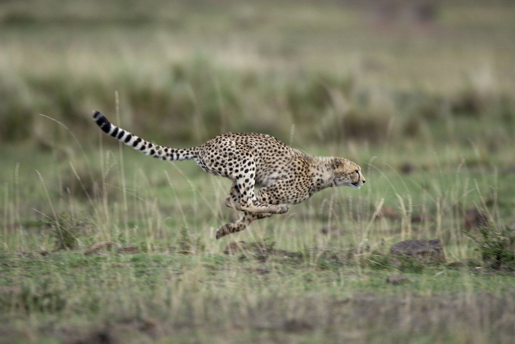 Detail of Adolescent Cheetah cub running in Masai Mara National Reserve by Corbis