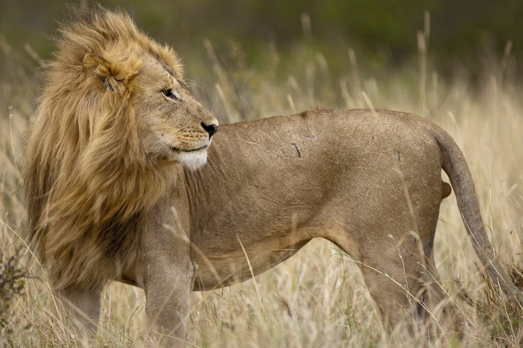 Detail of Adult male lion in tall grass in Masai Mara National Reserve by Corbis