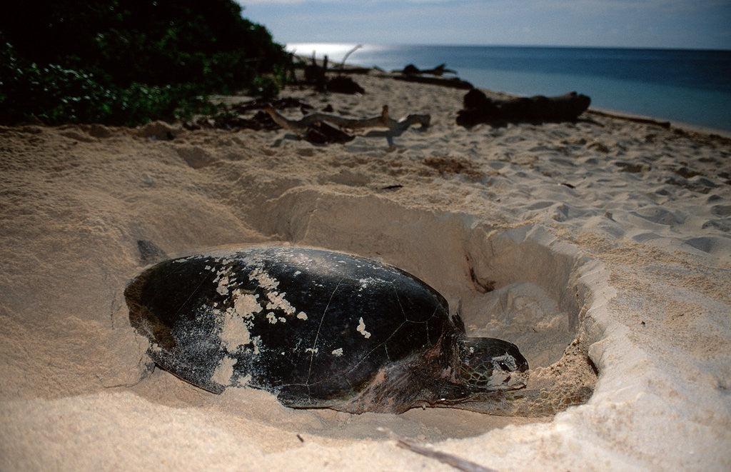 Detail of Green Sea Turtle digging a nesting hole on a beach (Chelonia mydas), Pacific Ocean, Borneo. by Corbis