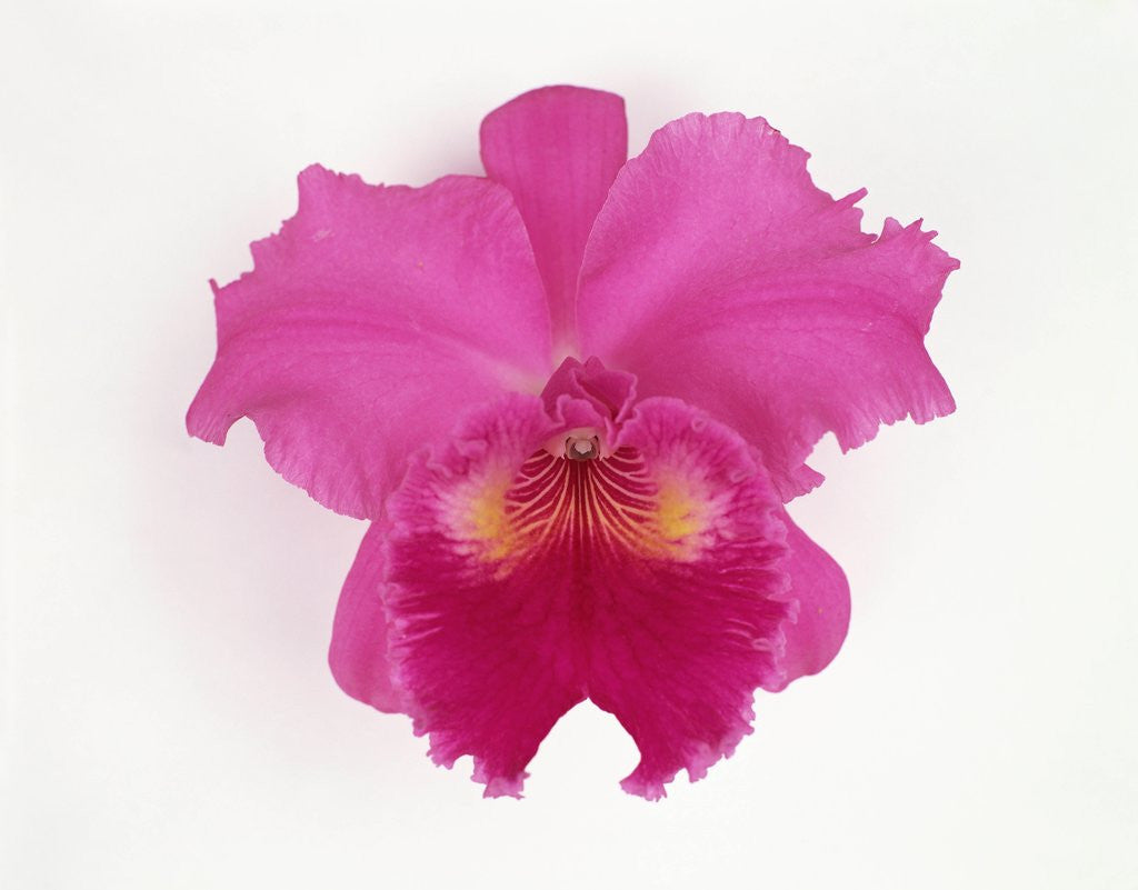 Detail of Cattleya Orchid by Corbis