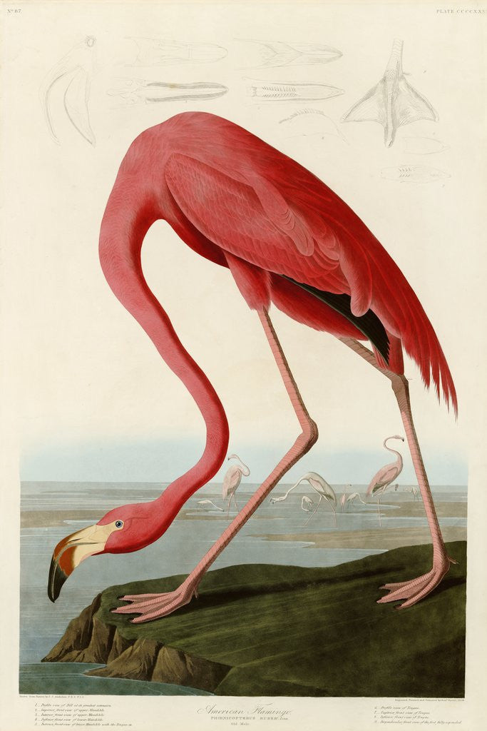 Detail of American Flamingo by John James Audubon