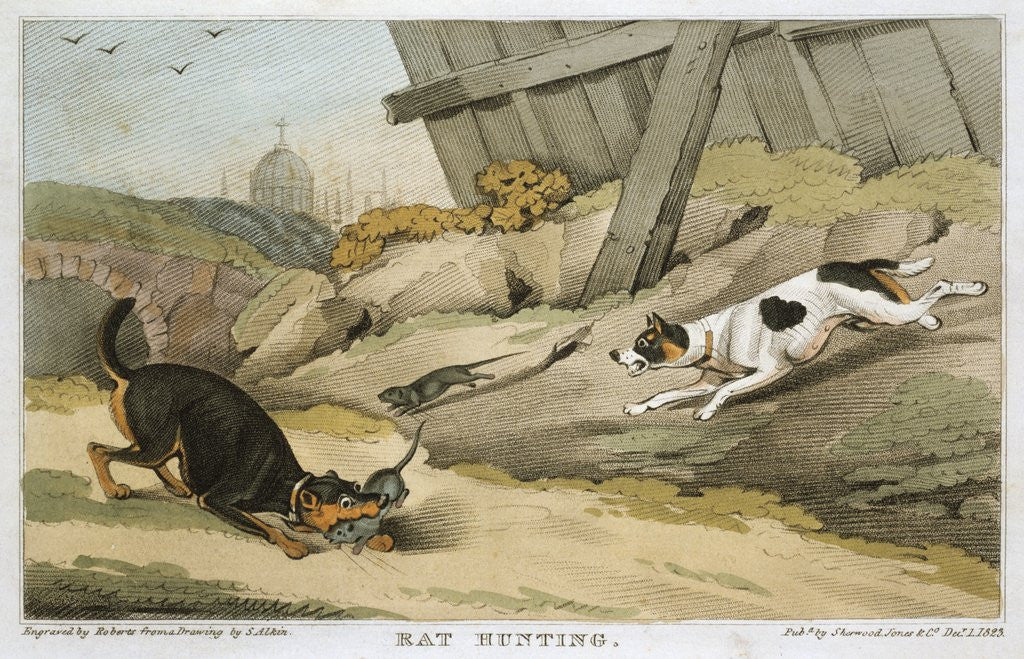 Detail of Dogs rat hunting by Corbis