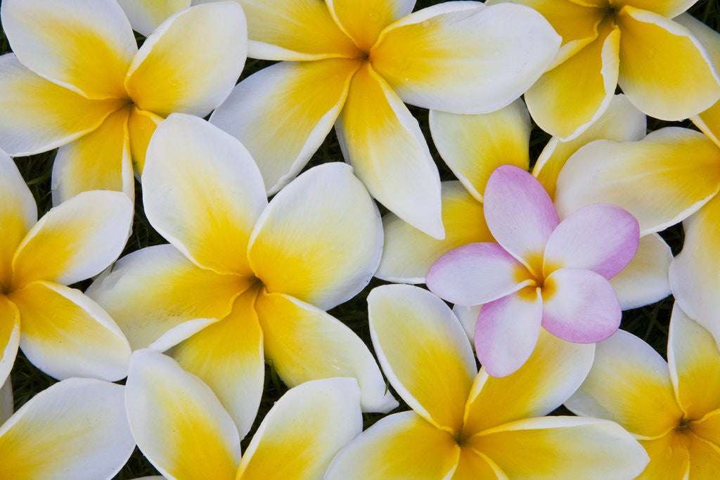 Detail of Frangipani flowers by Corbis