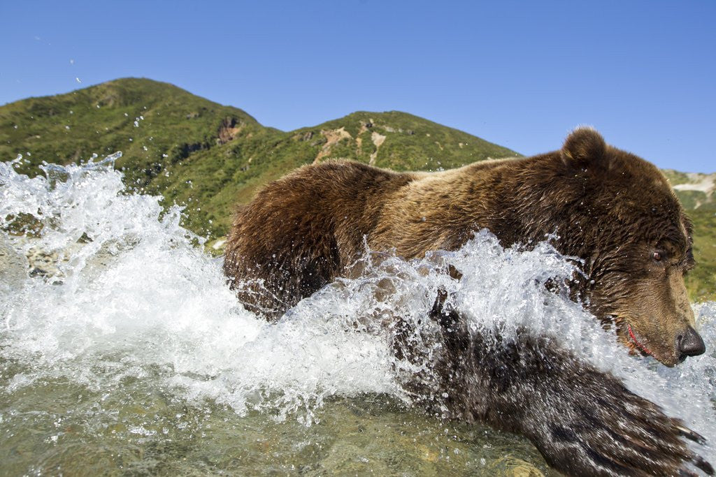 Detail of Fishing Brown Bear, Katmai National Park, Alaska by Corbis