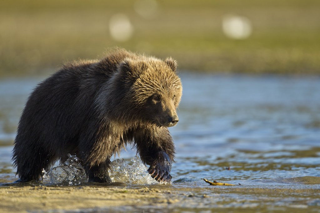 Detail of Brown Bear Spring Cub, Katmai National Park, Alaska by Corbis