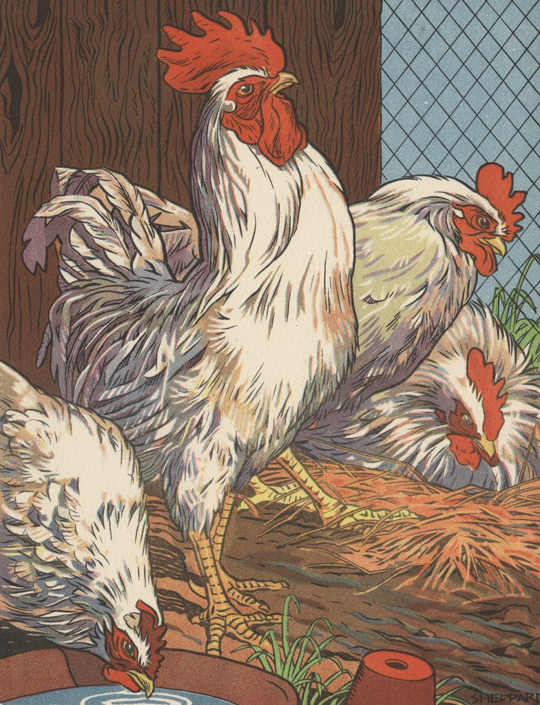 Illustration of four white chickens