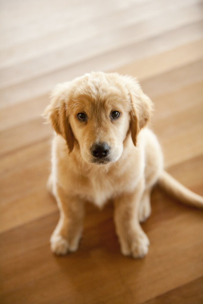 Detail of Golden Retriever puppy by Corbis