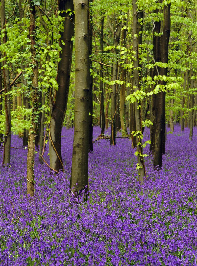 Detail of Bluebells (hyacinthoides non-scriptus) in a beech wood (fagus sylvatica), West Stoke, West Sussex, England, UK, Europe by Corbis