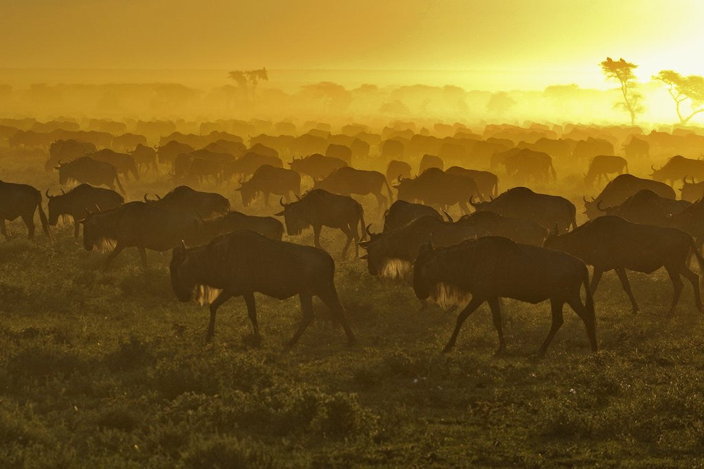 Detail of Herd of wildebeest at sunrise by Corbis