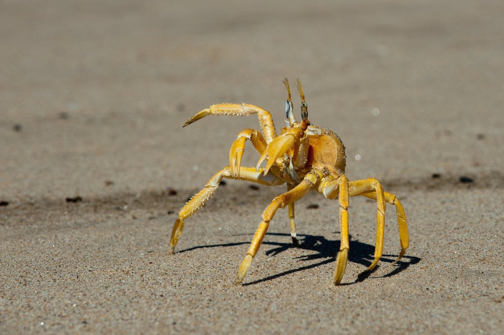Detail of Ghost crab (Ocypode cursor), Skeleton Coast National Park, Namibia. by Corbis