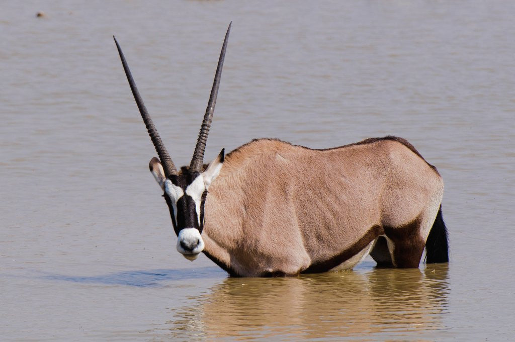 Detail of Gemsbok oryx (Oryx gazella gazella) by Corbis