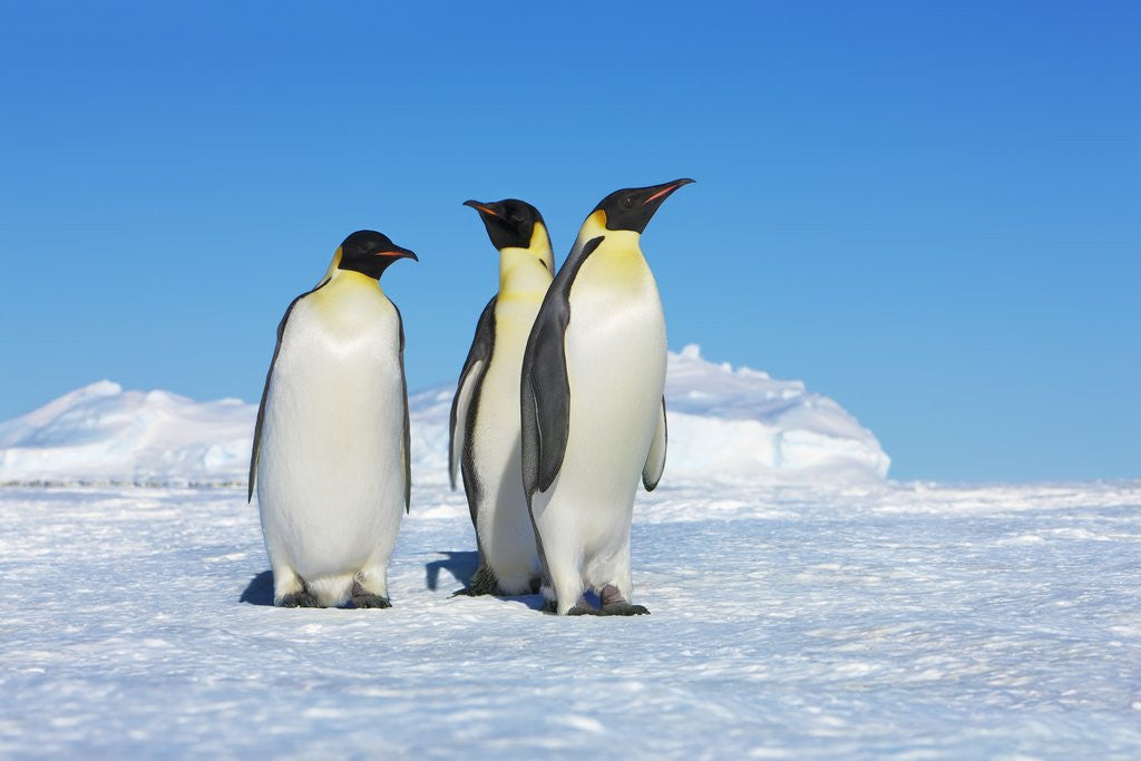 Detail of Emperor penguins (aptenodytes forsteri) by Corbis