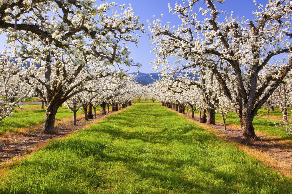 Detail of apple blossoms and Mt.Hood, Hood River, Oregon, Columbia River Gorge, Pacific Northwest. by Corbis