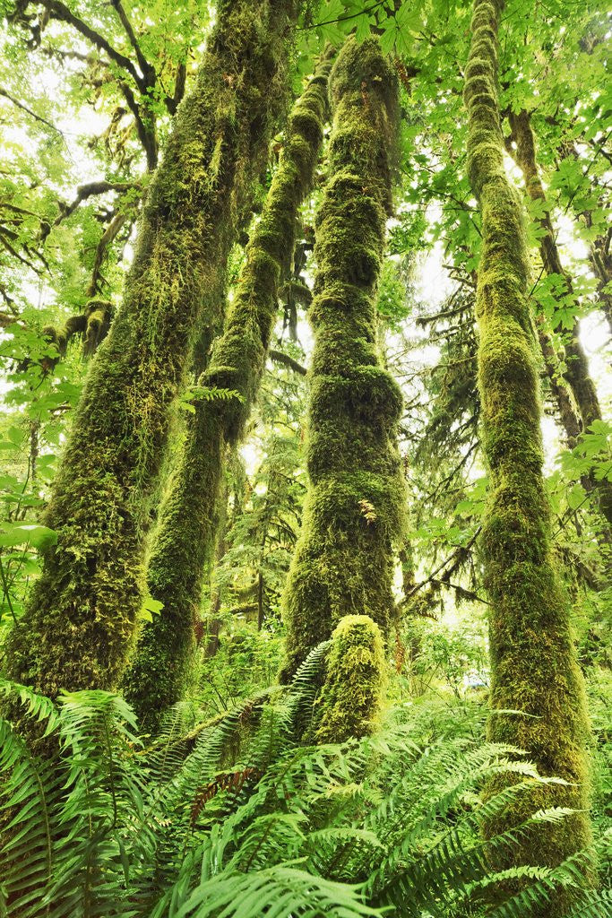 Detail of Moss-covered trees in North American rainforest by Corbis