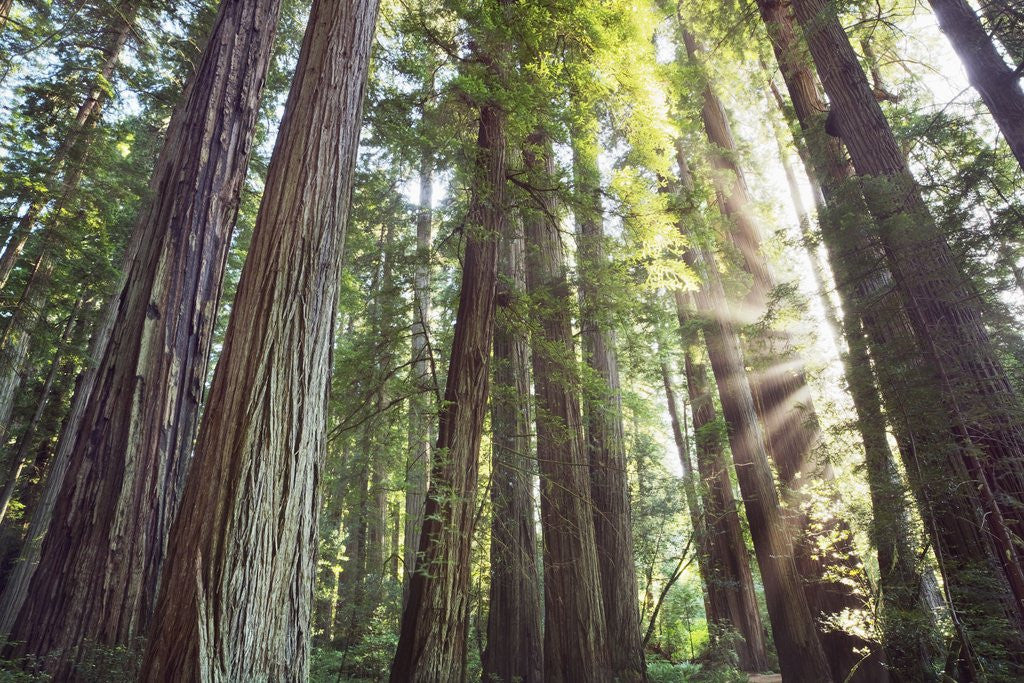 Detail of Coast redwood forest (sequoia sempervirens) by Corbis